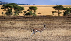 The Beauty Of The Tanzanian Wilderness (AnyMotion) Tags: grantsgazelle grantgazelle nangergranti gazellagranti antelope antilope landscape landschaft 2015 anymotion serengetinationalpark tanzania tansania africa afrika travel reisen animal animals tiere nature natur wildlife 7d2 canoneos7dmarkii ngc npc