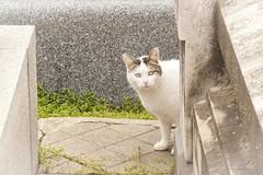 Cat (Carlos SGP) Tags: gato cat madrid felino felinos animales animals animal chat 貓 cementerio sacramentaldesanlorenzo canon