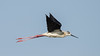 Himantopus himantopus in flight (. Christian Ferrer .) Tags: nikon sète hérault occitanie lido thau flight vol oiseau bird himantopus échasse stilt