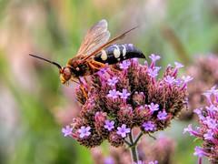 Beauty's Sting (clarkcg photography) Tags: flower wasp sting aroma purple yellow soft hard macro wednesdaymacro 7dwf