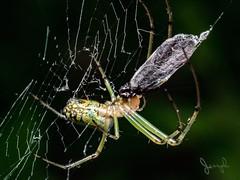 Wrapped! (Bo_Ya3GooB) Tags: nature macro spider closeup animal insect web wildlife fear creepy outdoors wild bug spiderweb scary cobweb phobia invertebrate arachnid hairy m43 trap mft no person em5ii em5markii