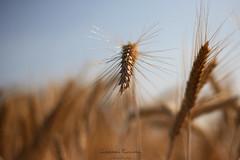 Ear of corn made in Italy|Sizzano|Italy (Giovanni Riccioni) Tags: giovanniriccioniphotography canon 2017 ear spiga natura nature campagna countryside canoneos5d canonef50mm18stm canon50mmf18 canonef50mmf18stm eos sizzano campagnenovaresi landscape