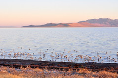 American Avocets on the causeway shoreline (Great Salt Lake Images) Tags: summer morning causeway shorebirds migratorybirds americanavocets greatsaltlake utah