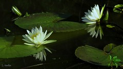 Reflections (Suzanham) Tags: white bloom petals flowers canonpowershotsx60hs waterlilly aquaticplant reflections swamp nymphaeaceae rhizomatousaquaticherbs floating mississippi water noxubeewildliferefuge