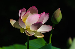 Lotus-1.jpg (BoCat31) Tags: fleur lotus rose bouton