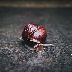 Thank goodness, it's raining again! (PascallacsaP) Tags: snail wet rain garden tile ground animal closeup