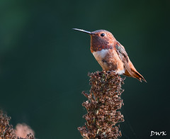 Top Gun (Don's Photostream) Tags: sunshine bokeh webstheking tallinthesaddle topguy hummingbird dazzling happy toughguy