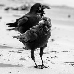 Ravens, Sydney 2011  #3923 (lynnb's snaps) Tags: 2011 550d longreef beach birds digital nature sydney canon550d canonef70200mmf4lis canonef14xteleconverter bw blackandwhite bianconero bianconegro blackwhite biancoenero noiretblanc raven ravens australianraven