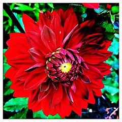 Cannot resist the red dahlia. #takoma #dc #dclife #washingtondc #iPhone365 #iPhone7plus #iPhone #iPhonemacro #macro  #flower #flowersofinstagram (Kindle Girl) Tags: iphone takoma dc dclife washingtondc iphone365 iphone7plus iphonemacro macro flower flowersofinstagram