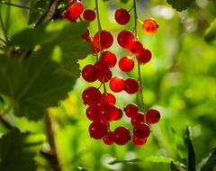Red currants - Day 181 / 365 (Wayne~Chadwick) Tags: