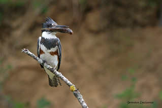 Martin pêcheur (Belted Kingfisher)