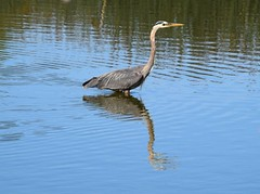 Great Blue Heron (careth@2012) Tags: heron greatblueheron nature wildlife bird reflection reflections lake britishcolumbia