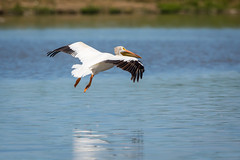 Landing Gear Down (jeff_a_goldberg) Tags: americanwhitepelican wildlife nature bird birdinflight bif wisconsin pelecanuserythrorhynchos manitowocharbor lakemichigan manitowoc unitedstates us