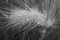 Waterlogged - Pennisetum villosum - Poaceae (Monceau) Tags: waterdrops grass caught pennisetumvillosum poaceae blackandwhite monochrome water odc