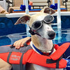 Doggles (DiamondBonz) Tags: spanky whippet doggles goggles life jacket swim swimming handsome dog hound