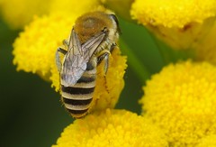 Colletes fodiens f - 06 VII 2017 (el.gritche) Tags: hymenoptera france 40 garden colletidae colletesfodiens asteraceae tanacetumvulgare female