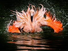 Pretty Flamingo (mlomax1) Tags: 80d canoneos80d cheshire chester chesterzoo eos80d england zoo canon flamingo bird water splash flap pink chileanflamingo coverpicture dailypost chesterchronicle flintshirechronicle chronicle