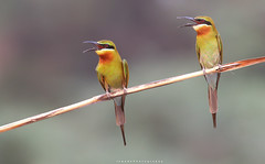 Blue Tailed Bee Eaters (Jawad_Ahmad) Tags: naturelover naturephotography beautiful natural wildbird birdsphotographer birdsimages flicker colors feathers calling perch composition jawadsphotography sialkot pakistan