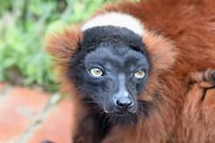 Red-Ruffed Lemur (Bri_J) Tags: tropicalbutterflyhouse northanston southyorkshire uk butterflyhouse yorkshire nikon d7200 redruffedlemur lemur vareciarubra