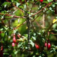 Glazenmakers (Aeshnidae) (eric zijn fotoos) Tags: natuur planten holland nederland makro sonyrxiii sonyrx10111 nature blad macro plants sonyrx10m3 dier detail noordholland plant animal libelle insekt insect leaf