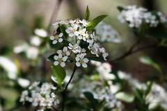 Flowers, Morton Arboretum. 48 (EOS) (Mega-Magpie) Tags: canon eos 60d nature outdoors lovely pretty flowers the morton arboretum lisle dupage il illinois usa america white green