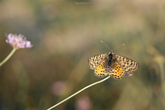 Butterfly time : Stopover (oskaybatur) Tags: summer july butterfly keleek 2017 oskaybatur çerkezköy türkiye turkei turkey nature dof bokeh pentaxk10d mf samaynag100mm pentaxart justpentax