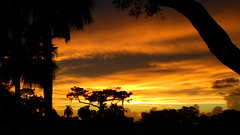 Sunset July 8th (Jim Mullhaupt) Tags: sunset sundown dusk sun evening endofday sky clouds color red gold orange pink yellow blue tree palm outdoor silhouette weather tropical exotic wallpaper landscape nikon coolpix p900 bradenton florida manateecounty jimmullhaupt cloudsstormssunsetssunrises photo flickr geographic picture pictures camera snapshot photography nikoncoolpixp900 nikonp900 coolpixp900
