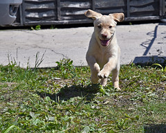 The joys of being a puppy (rv3child) Tags: elements labrador puppy dog ears running joy