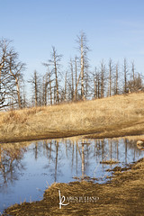dry hills and puddle reflection (Karen Juliano) Tags: puddle reflection winter bare trees pine colorado mountains blue brown irony