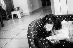 un'estate da cani (andaradagio) Tags: andaradagio bianconero bw canon dog cane miglioramicodelluomo nadiadagaro