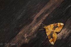 Cidaria fulvata (BJSmit) Tags: oranjebruinbandspanner barredyellow moth rosacanina cidaria rose cidariafulvata