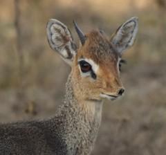 """I'm Sad! I Lost a Horn"" (The Spirit of the World) Tags: dikdik male antelope markings portrait beautiful nature wildlife lakenakuru safari gamedrive gamereserve kenya eastafrica africa"