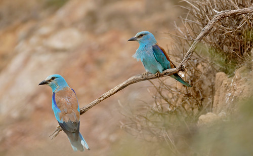 European Rollers (Coracias garrulus) couple