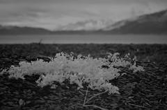 Beach plants with Resurrection Bay (steve_scordino) Tags: