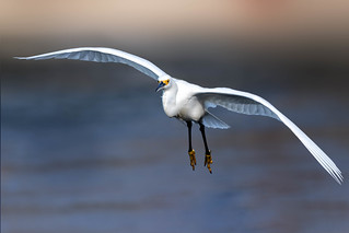 On-coming Snowy Egret