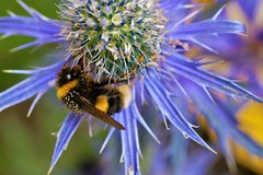 Bumble Bee (stellagrimsdale) Tags: bee busy pollen blue thistle bumble bokeh