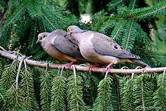 Mourning Dove Affectionate? Peck (Anne Ahearne) Tags: mourningdove doves dove nature wildlife spruce tree animals animal pair couple courtship pecking peck love