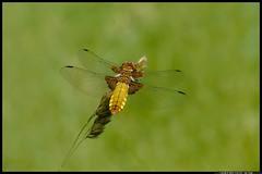 DSC_1622-06-08-1- depressa femmina (r.zap) Tags: depressafemmina libellula rzap parcodelticino