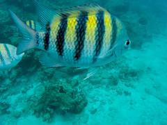St. Thomas Caribbean coral reef Fish (nikkinicknicol) Tags: caribbean coral reef yellow striped fish sergeant major snorkel st thomas sea ocean island