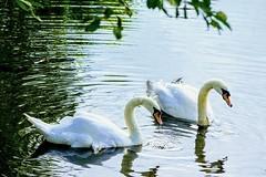 Mute swans (janrs7) Tags: muteswan knoppsvane pond water elegance norge norway july summer sonyemount55210mm