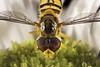 Syrphe (Daniel Lebarbé) Tags: syrphe hoverfly kilifitmakro novoflex bellows soufflet macrophotographie macrophotography vergerette fleur butineur mouche diptère dipterous fly browser exakta