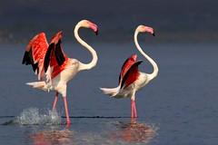 Persuading :) (amit_dhongde) Tags: amit dhongde canon canon7d birds flamingo bhigwan pune satara