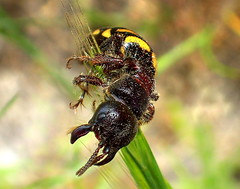 FLOWER WASP waiting for her winged MALE (Lani Elliott) Tags: nature naturephotography insect wasp nativeflowerwasp macro upclose close closeup bokeh thynnuszonatus incredible wow brilliant