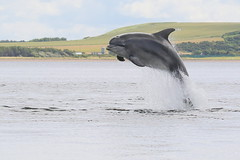 Moray Firth Bottlenose Dolphin (Ally.Kemp) Tags: moray firth bottlenose dolphins dolphin scottish scotland wild wildlife free breaching leaping jumping fortrose rosemarkie chanonry point