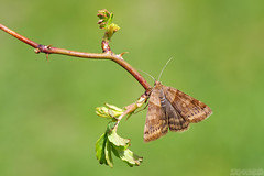 A Nap in the Sun (Vie Lipowski) Tags: moth insect bug plant thorn leaf weed wild backyard wildlife nature macro