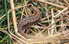Expectant Mum - Common lizard (riggy-riggo) Tags: commonlizard pregnant lizard reptile nature wildlife grassland kent macro deborahrigden riggyriggodebbierigden canon5dmarkll sigma105mm