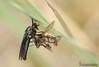 (Lucas Gutiérrez) Tags: 1781 asílido abejorro almijara balsa presa granada fornes insectos granadanatural diadema dasypogon