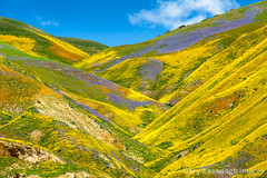 Vibrant flower covered hills below Mckittrick Summit, Carrizo Pl (Gary Rides Bikes) Tags: california carrizoplain carrizoplainnationalmonument mckittricksummit northamerica sanluisobispocounty springtime temblorrange usa beautyinnature canyon goldcolored hill idyllic inbloom landscape nature nopeople plain remote rollinglandscape scenicsnature vibrantcolor yellow