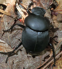 Tumblebug, Canthon sp., Belleplain State Forest - Narrows Rd. (Seth Ausubel) Tags: coleoptera scarabaeidae