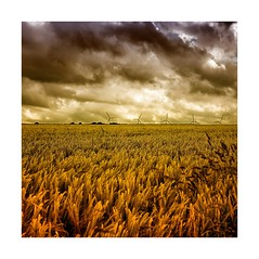 Field of Gold (Missy Jussy) Tags: barley fields crop farming farmland countryside england yorkshire sky clouds dramatic moodylandscape atmosphere sunlight landscape canon canon5dmarkll fantastic50mm canon50mm ef50mmf18ll 50mm